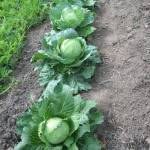 Cabbage and Watermelon in Fall 2011
