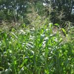 Corn in the Garden