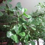Ficus Lyrata - Designer's Plant
