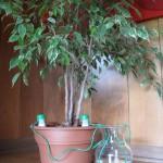 Ficus Benjamina + HydroSpike