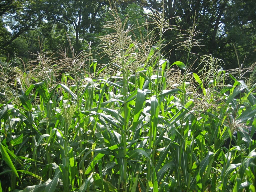 Corn in our Garden