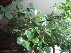 Ficus Lyrata 30 years old plant tree